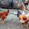 Ενημέρωση και στην Λακωνία για την Γρίπη των Πτηνών.