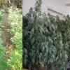 Νέα σύλληψη για φυτά Κάνναβης