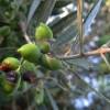 Εξέλιξη προγράμματος καταπολέμησης του Δάκου της ελιάς στην Λακωνία
