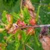 Πρόγραμμα βιολογικής καταπολέμησης της σφήκας της καστανιάς.