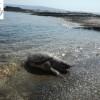 Νεκρή χελώνα Caretta – Caretta από πλαστικά στην παραλία Κόρακα