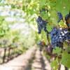 Χορήγηση αδειών νέων φυτεύσεων αμπέλου με οινοποιήσιμες ποικιλίες για το έτος 2021