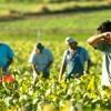 Εργάτες γης: Έως 15/6 η αίτηση μετάκλησης, καθυστερεί η ηλεκτρονική πλατφόρμα