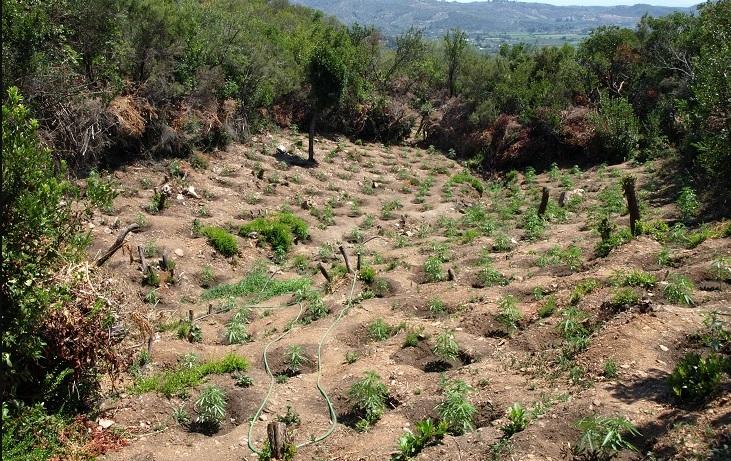 Οι Αρχές εντόπισαν και κατάσχεσαν 1254 δενδρύλλια κάνναβης στην Λακωνία.