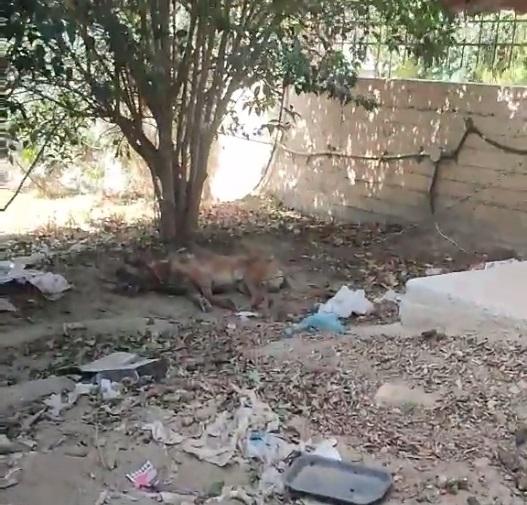 Αλυσοδεμένος σκύλος στη Σκάλα πεθαίνει αβοήθητος – Βίντεο Προσοχή Σκληρές Εικόνες.